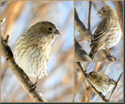 female housefinch collage