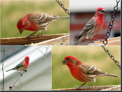 male housefinch collage1