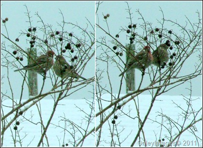 finch collage0327