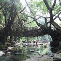Indian rubber bush