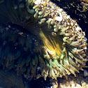 Starburst (Sunburst) Anemone
