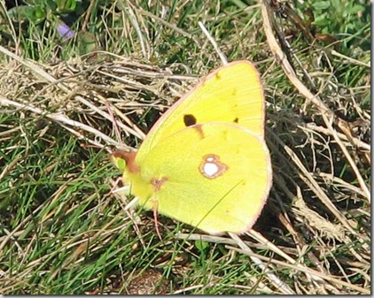 20090926 BHW Clouded Yellow