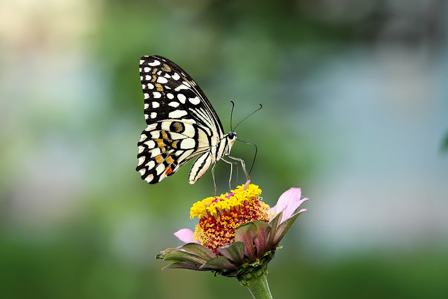 Butterfly... by Ramakant Sharda - Animals Insects & Spiders ( butterfly, nature, green, black, flower )