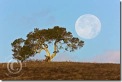 Perigee Moon & California Oak