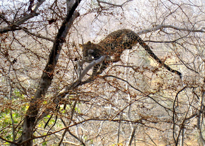 Leopard killing a baby monkey in Ranthambore National Park in Rajasthan, India
