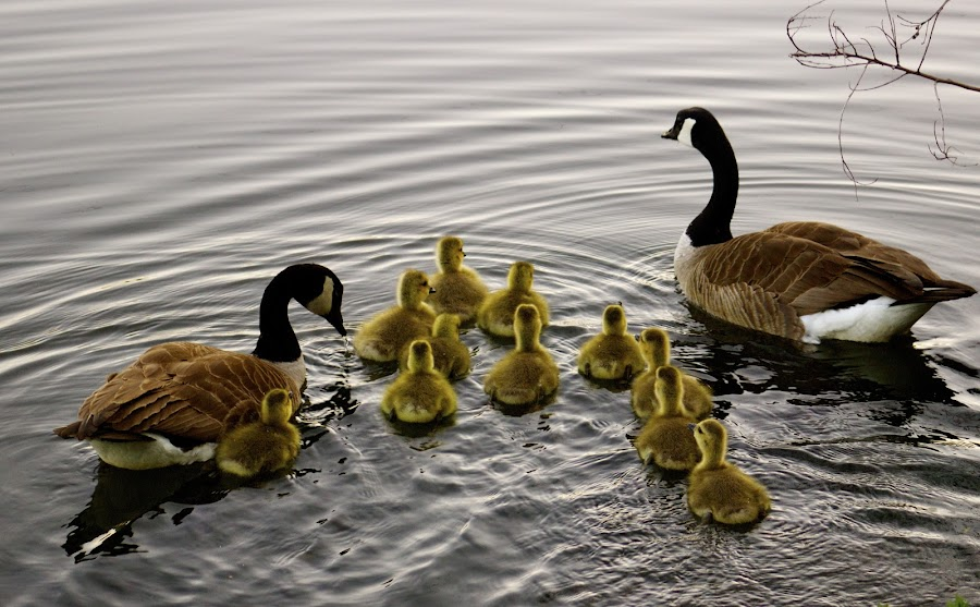 Mothers Day by Noel Jay - Animals Birds ( gosling, mothers day, geese, pond,  )