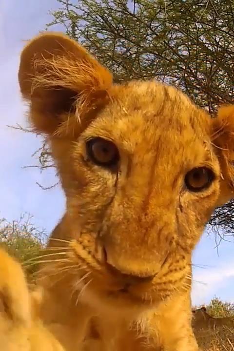 Kitten Lion cub Live Wallpaper - screenshot