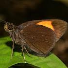Narrow-banded Velvet Bob Butterfly