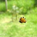 Araña panadera/Spiny orbweaver spider