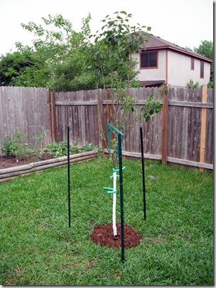 Pear Tree 2