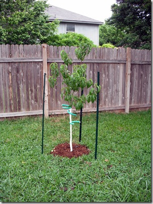 New Peach Tree 2