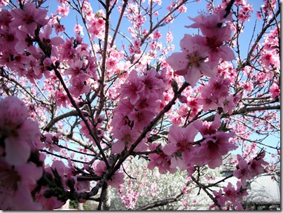 Peach Blossoms 3