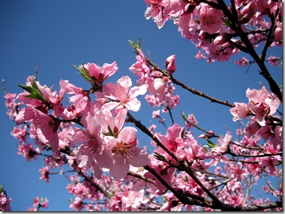 Peach Blossoms 17
