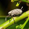 Inverted or Beetle Planthopper