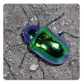 Lucky Beetle Live Wallpaper
