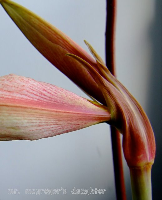 January Bloom Day - Stages of an Amaryllis