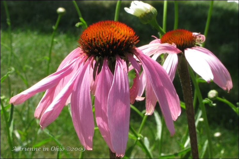 purple coneflower photo by Adrienne in Ohio