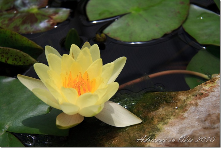 water lily photo by Adrienne Zwart