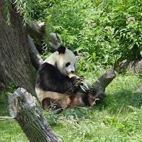 Pandas2.jpg