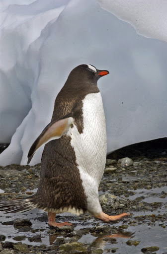 132d2GentooPenguins - This fellow is late for a date!