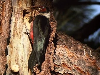 Woodpeckers: Nature's Hammerheads