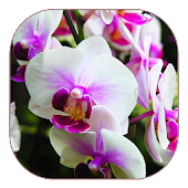 White Orchid Live Wallpaper