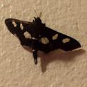 Leaffolder Moth