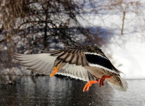 In Flight... by Susanne Carlton - Animals Birds (  )