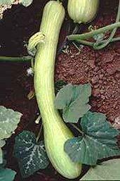 (Lagenaria longissima)