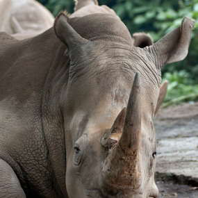 rhino #2 by Aditya Perdana - Animals Other Mammals