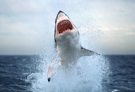 Great White Shark 01