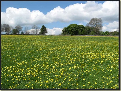 A field of dandelions near Middleton