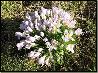 Crocuses beside the Bridgewater Canal near Lymm, on 4 March 2010