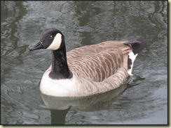2502CanadianGoose