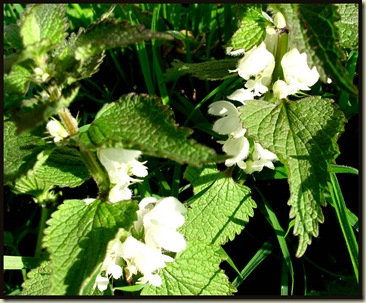 1205whitedeadnettle