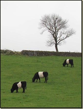 Belted cows