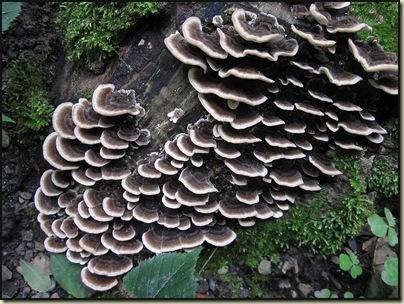 A Polyporaceae fungus