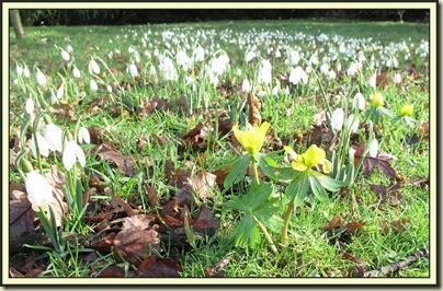 Snowdrops and Winter Aconites at Dunham Massey
