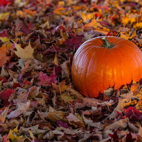 Pumpkin in Maple Leaves by Craig Lybbert - Nature Up Close Gardens & Produce ( fall colors, pumpkin, fall, leaves, maple,  )