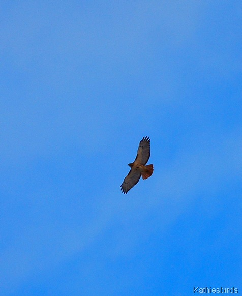 7. red-tailed hawk