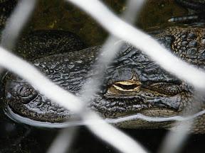 263 - Alligator.JPG