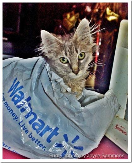 WalMart cat a FERAL CAT CALLED FURBY