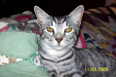 possible Egyptian Mau