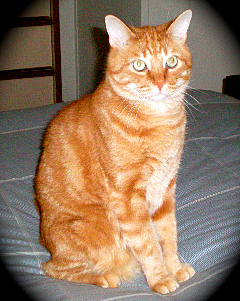 Jr Jones a DSH orange tabby