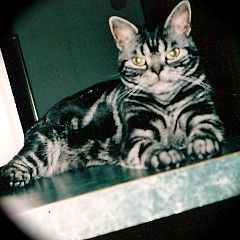 Roxy an American shorthair cat