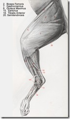 hind leg muscles of a cat