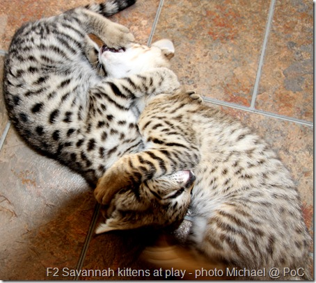 F2 Savannah kittens at play
