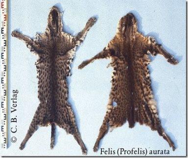 African-Golden-Cat-Fur-Skins-1