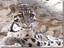 clouded leopard-1