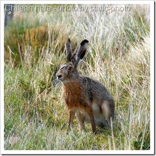 chilean-hare